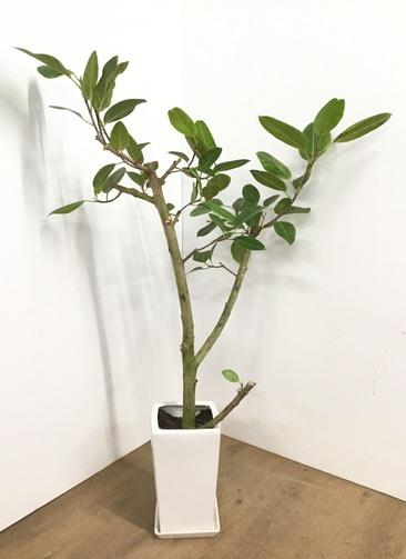 観葉植物 【140cm】【陶器鉢】フィカス アルテシーマ 8号 #22566