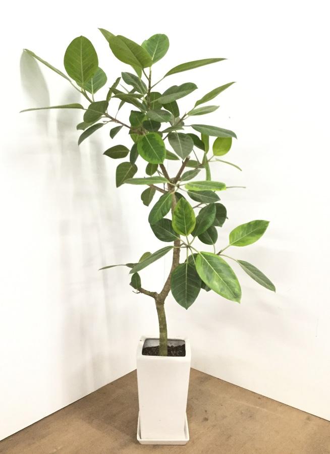 観葉植物 【150cm】【陶器鉢】フィカス アルテシーマ 8号 #22567