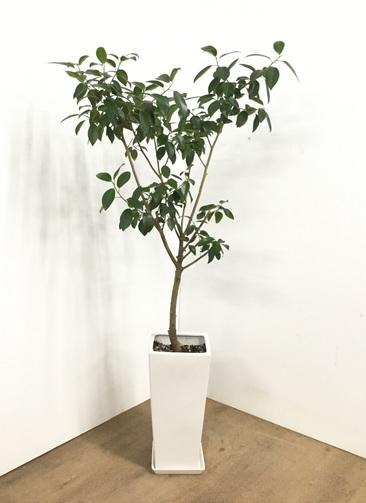 観葉植物 【155cm】【陶器鉢】フランスゴムの木 8号 #22568