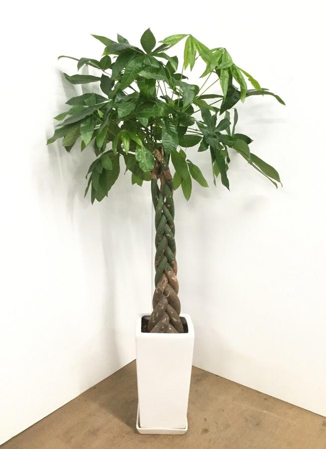 観葉植物 8号 ねじり 【135cm】【陶器鉢】パキラ 8号 ねじり #22570