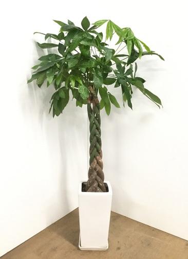 観葉植物 【135cm】【陶器鉢】パキラ 8号 ねじり #22570