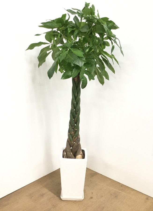 観葉植物 【140cm】【陶器鉢】パキラ 8号 ねじり #22571