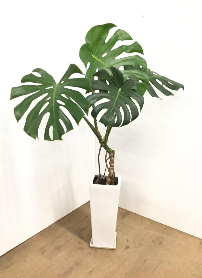観葉植物 【120cm】【陶器鉢】モンステラ 7号 根上り #22572