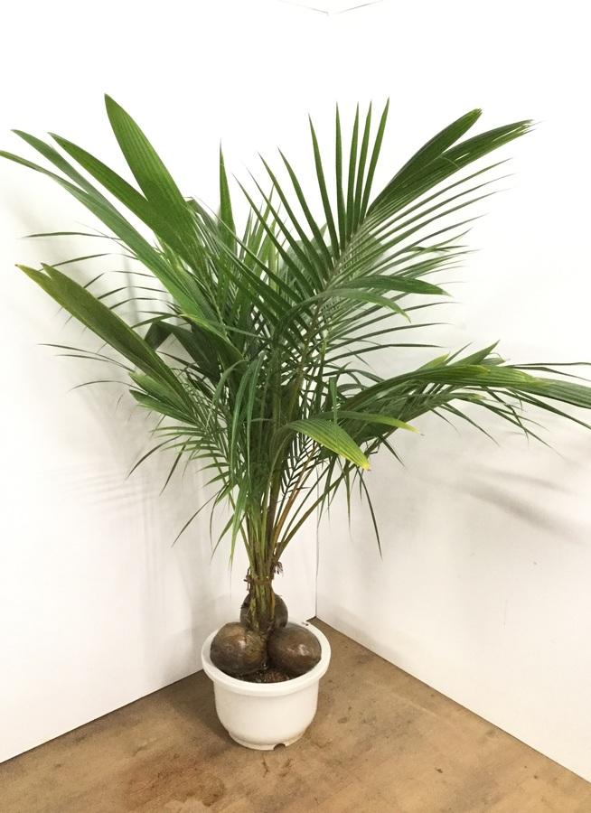 観葉植物 【175cm】ココヤシ 13号 #22578