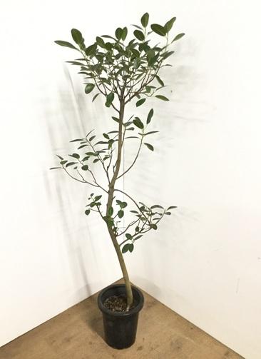 観葉植物 【160cm】 フランスゴムの木 8号 曲り #22579
