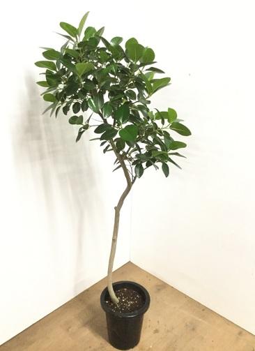 観葉植物 【150cm】 フランスゴムの木 8号 曲り #22580