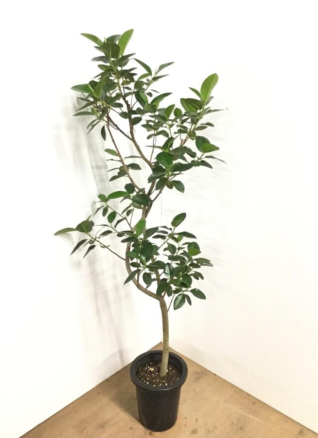 観葉植物 8号 曲り 【160cm】 フランスゴムの木 8号 曲り #22581