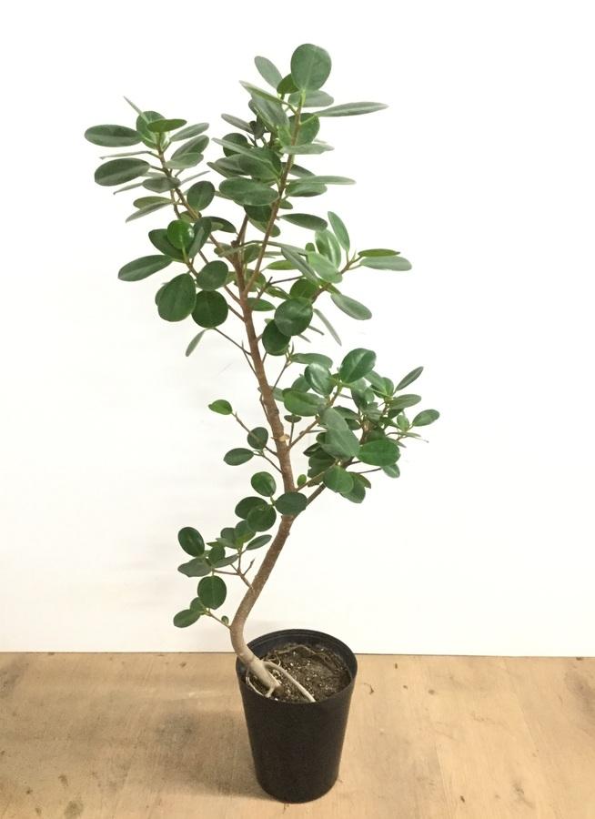 観葉植物 【95cm】パンダガジュマル 6号 曲り #22582