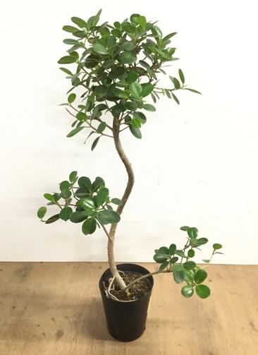 観葉植物 【95cm】パンダガジュマル 6号 曲り #22583