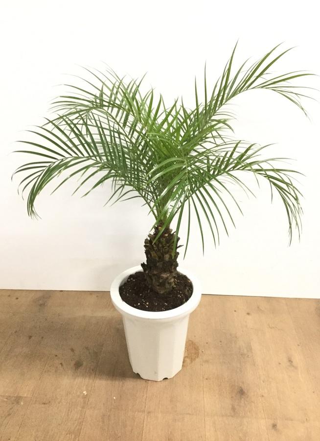 観葉植物 【80cm】フェニックスロベレニー 8号 #22587