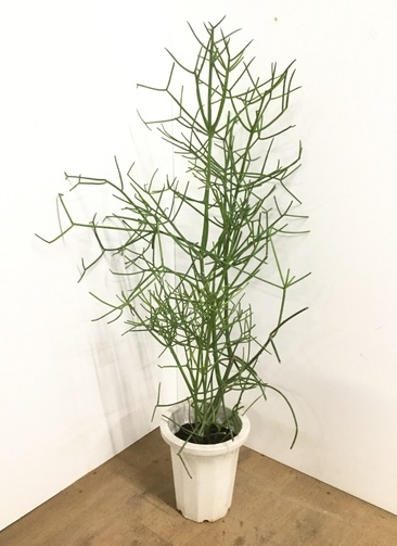 観葉植物 【135cm】ミルクブッシュ 8号 #22588