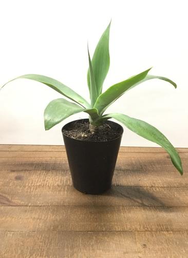 観葉植物 【45cm】アガベ ボーチンブルー 6号 #22589