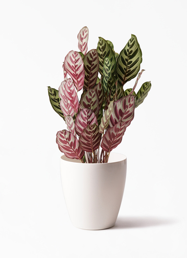 観葉植物 カラテア マコヤナ 6号 ラスターポット 付き