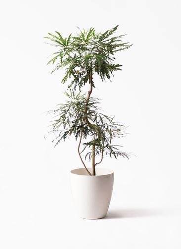 観葉植物 グリーンアラレア 8号 曲り ラスターポット 付き