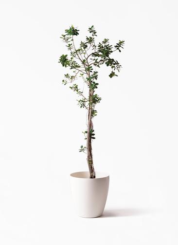 観葉植物 ガジュマル 8号 パンダ ラスターポット 付き