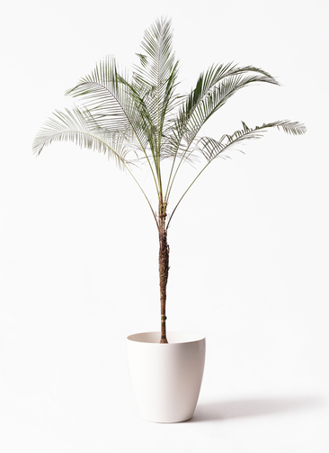 観葉植物 ヒメココス 10号 ラスターポット 付き