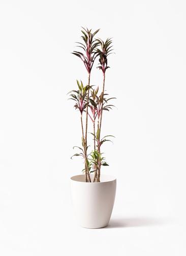 観葉植物 コルディリネ (コルジリネ) ターミナリス 8号 ラスターポット 付き