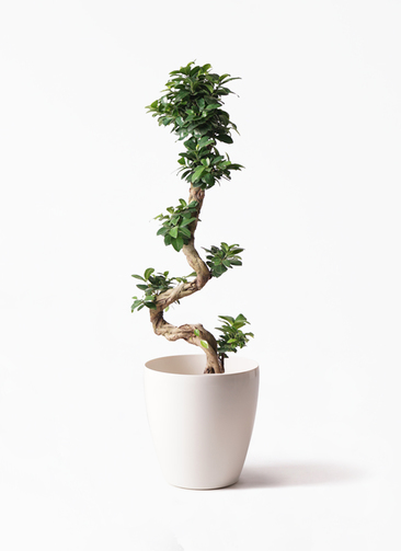 観葉植物 ガジュマル 8号 曲り ラスターポット 付き