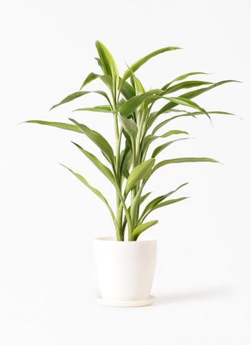 観葉植物 ドラセナ サンデリアーナ ゴールド 4号 ラスターポット 付き