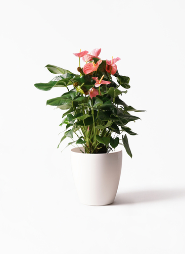 観葉植物 アンスリウム 10号 ピンクチャンピオン ラスターポット 付き