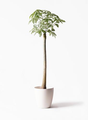 観葉植物 パキラ 10号 朴 斑入り ラスターポット 付き