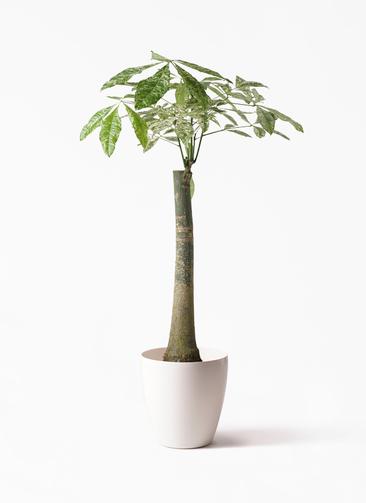 観葉植物 パキラ 8号 朴 斑入り ラスターポット 付き