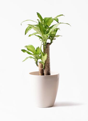観葉植物 ドラセナ 幸福の木 6号 ノーマル ラスターポット 付き