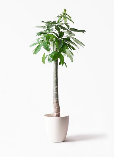 観葉植物 パキラ 10号 朴 ラスターポット 付き