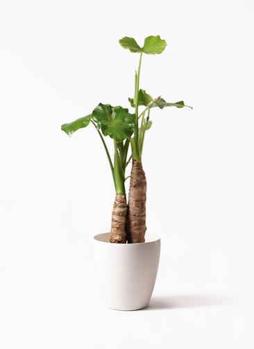 観葉植物 クワズイモ 8号 ラスターポット 付き