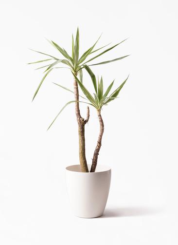 観葉植物 ユッカ 8号 斑入り ラスターポット 付き
