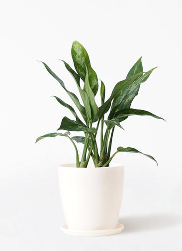 観葉植物 アグラオネマ 4号 ラスターポット 付き