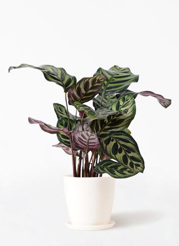 観葉植物 カラテア マコヤナ 4号 ラスターポット 付き