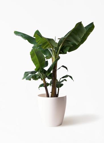観葉植物 三尺バナナ 10号 ラスターポット 付き