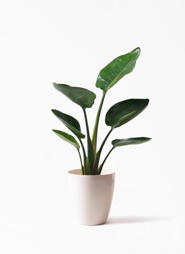 観葉植物 オーガスタ 6号 ラスターポット 付き