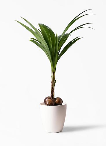 観葉植物 ココヤシ 10号 ラスターポット 付き