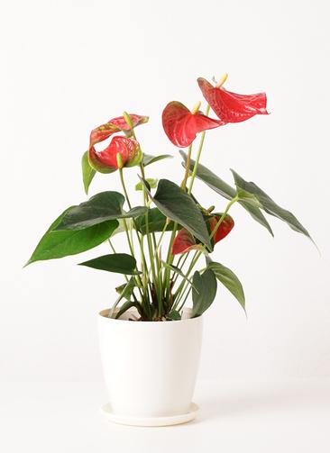 観葉植物 アンスリウム 4号 ダコタ ラスターポット 付き