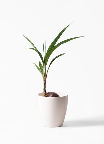 観葉植物 ココヤシ 7号 ラスターポット 付き