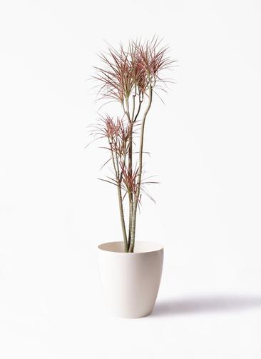 観葉植物 ドラセナ コンシンネ レインボー 8号 ストレート ラスターポット 付き