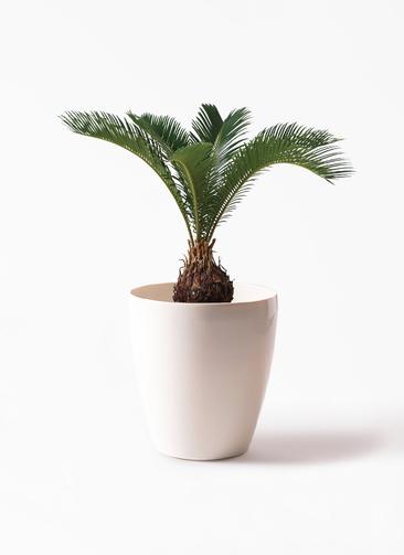 観葉植物 ソテツ 6号 ラスターポット 付き