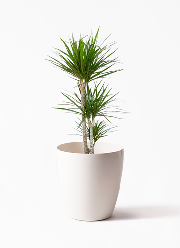 観葉植物 ドラセナ コンシンネ 7号 寄せ ラスターポット 付き