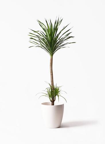 観葉植物 ドラセナ カンボジアーナ 10号 ラスターポット 付き
