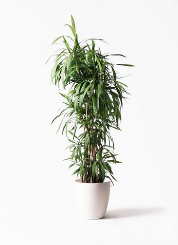 観葉植物  コルディリネ (コルジリネ) ストリクタ 10号 10号 ラスターポット 付き
