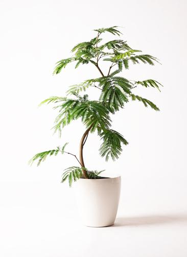 観葉植物 エバーフレッシュ 8号 曲り ラスターポット 付き