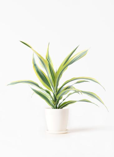 観葉植物 ドラセナ ワーネッキー レモンライム 4号 ラスターポット 付き
