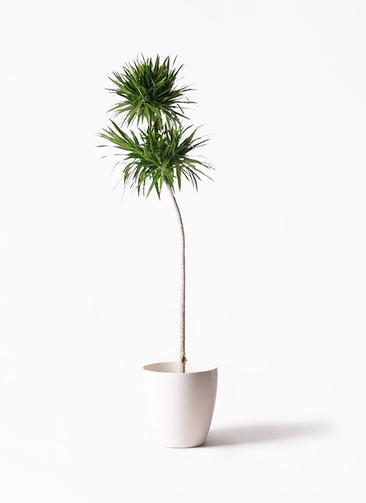 観葉植物 ドラセナ ナビー 10号 ストレート ラスターポット 付き