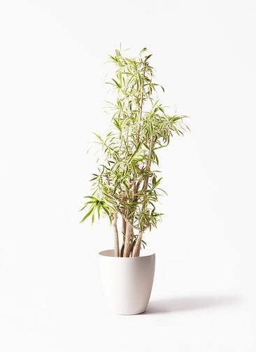 観葉植物 ドラセナ ソング オブ インディア 10号 ラスターポット 付き