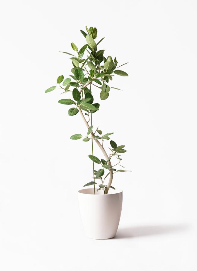 観葉植物 フィカス ベンガレンシス 10号 曲り ラスターポット 付き