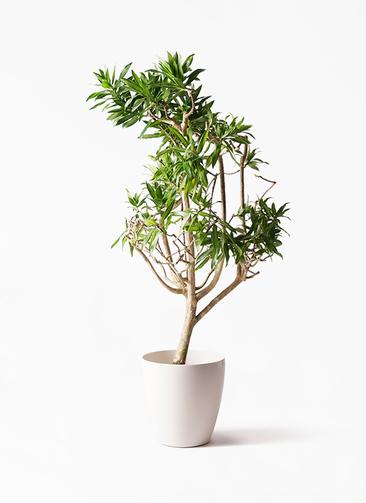 観葉植物 ドラセナ ソング オブ ジャマイカ 8号 ラスターポット 付き