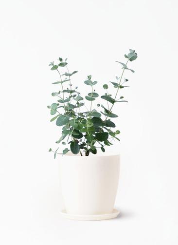 観葉植物 ユーカリ 3号 グニー ラスターポット 付き