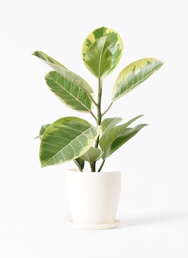 観葉植物 フィカス アルテシーマ 4号 ストレート ラスターポット 付き